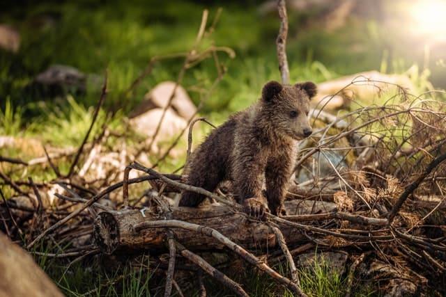 Klanten werven: wat je van beren leren kan