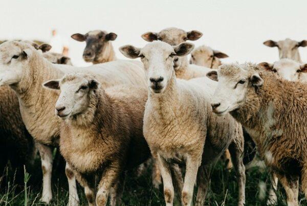 merkpersoonlijkheid - kudde schapen - Het Schrijfpaleis