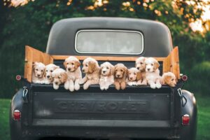 truck met in de achterbak een hele rij puppy's. Het Schrijfpaleis.